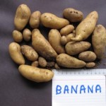 Banana potato tubers