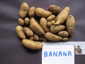 Banana_potatoes