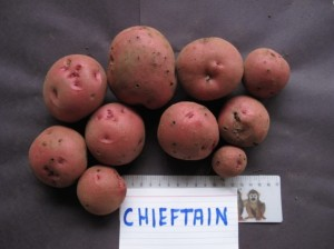 Chieftain potatoes - single plant yield, 2012, Victoria, British Columbia