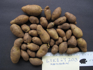 Likely tubers from single plant grown in 2013 in Metchosin, BC.