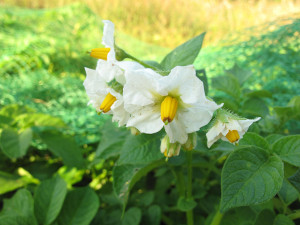 White flowers of Likely potato plant, July 1, 2013 in Saanich, BC