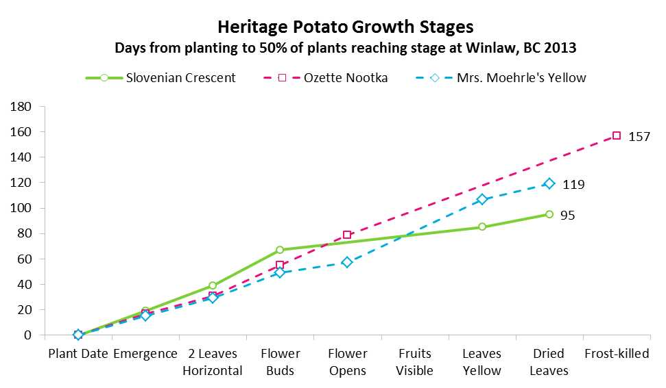 Growth stages of Slovenian Crescent, Ozette Nootka and Mrs. Moehrle's Yellow.  Winlaw, BC 2013.