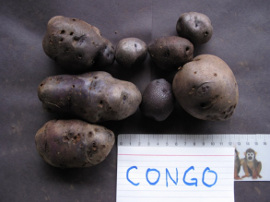 Congo potato tubers. Single plant yield, 2012, Victoria, BC