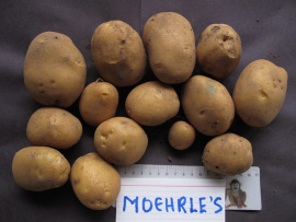 Mrs. Moehrle's Yellow.  Single plant yield, Victoria BC 2012.