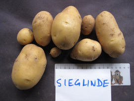 Sieglinde.  Tubers from a single plant, Victoria BC 2012