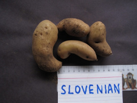 Slovenian Crescent.  Tubers from a single plant, Victoria BC 2012