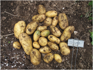 Sieglinde tubers harvested in Saanich, BC