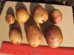 Caribe tuber size and shape