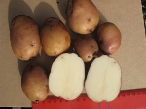 Caribe potato, sliced in half, showing creamy white flesh.