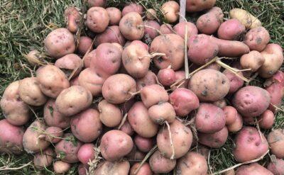 Icelandic Red Potatoes