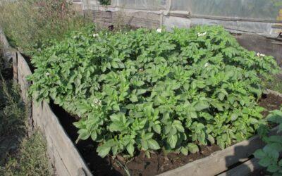 Perestroika potatoes in Tomsk, Central Siberia